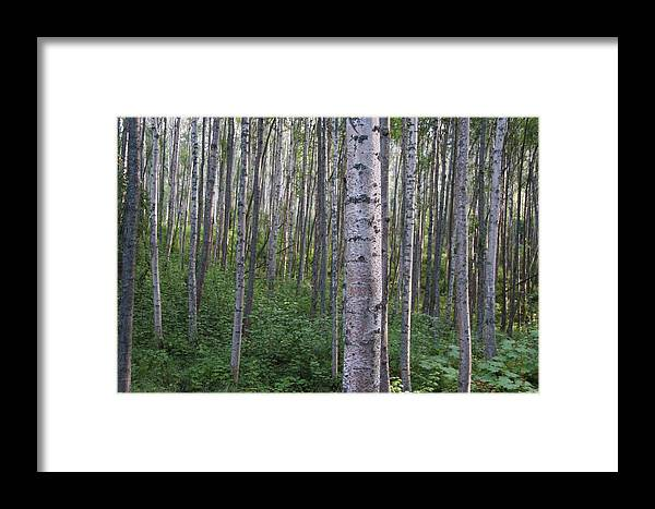 Alaska Framed Print featuring the photograph Alaska - A Dense Grove Of Birch Trees by Scott Lenhart