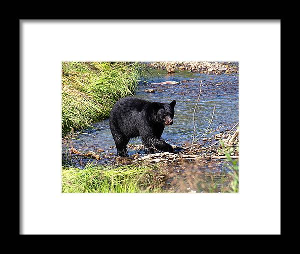Bear Framed Print featuring the photograph Alaskan Black Bear Hunting in a River by Jessica Foster