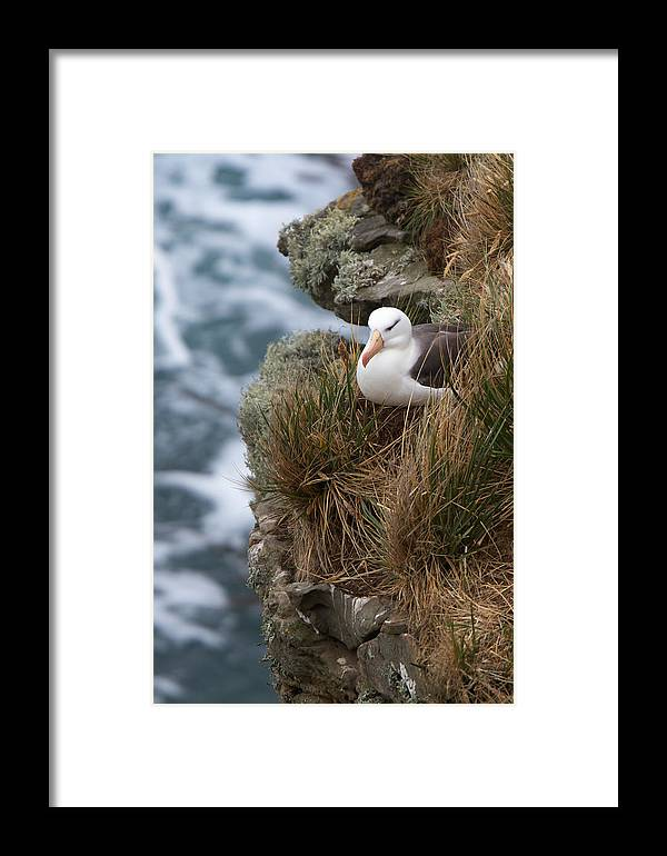 Falkland Islands Framed Print featuring the photograph Albatross Rookery by David Beebe
