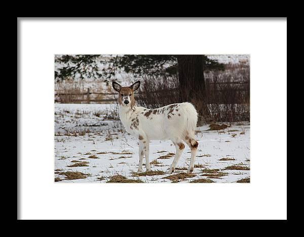 Deer Framed Print featuring the photograph Albright The Piebald Deer by Theresa Meegan