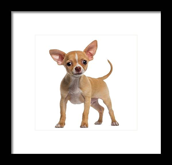 Pets Framed Print featuring the photograph Alert Chihuahua Puppy 3 Months Old by Life On White