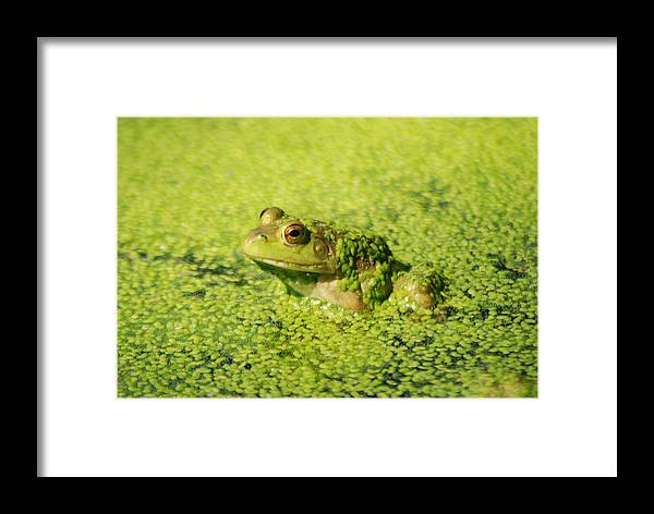 Green Algae Framed Print featuring the photograph Algae Covered Frog by Optical Playground By MP Ray