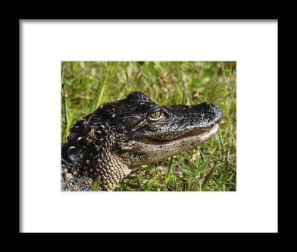 Alligator Framed Print featuring the photograph Alligator Head Shot. Melbourne Shores. by Chris Kusik
