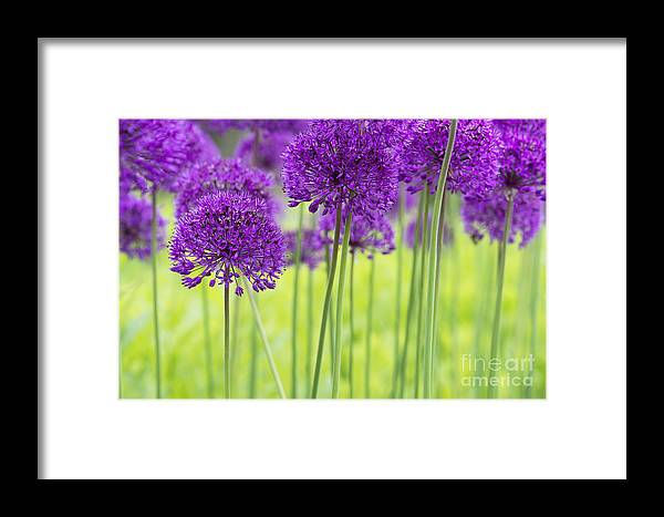 Allium Hollandicum Framed Print featuring the photograph Allium Hollandicum Purple Sensation Flowers by Tim Gainey