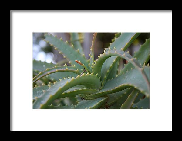 Aloe Vera Framed Print featuring the photograph Aloe Vera Leaves by Taiche Acrylic Art