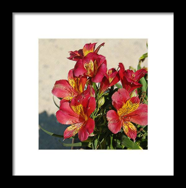 Alstroemeria Framed Print featuring the photograph Alstroemeria In Pastel by Suzanne Gaff