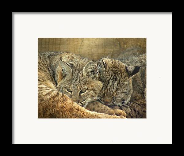 Bobcats Framed Print featuring the photograph Always Watching by Teresa Schomig