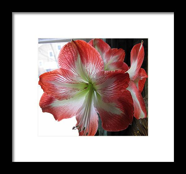 Amaryllis Framed Print featuring the photograph Amaryllis In Bloom by Barbara McDevitt