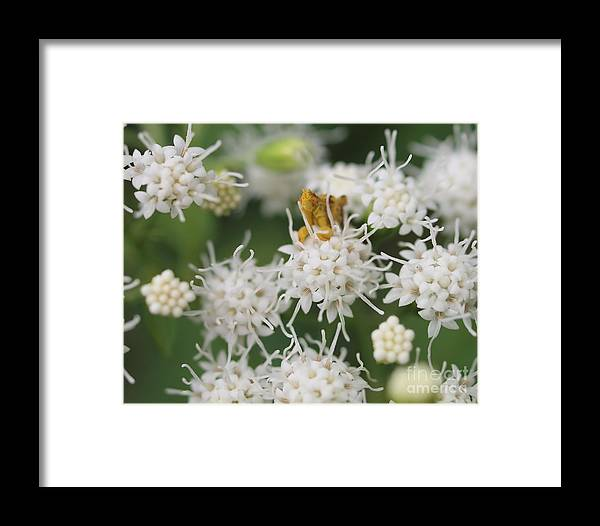 Ambush Bug Insects White Flowers Framed Print featuring the photograph Ambush Bug by Frank Piercy
