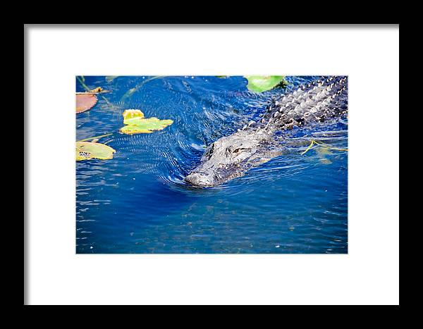 Florida Framed Print featuring the photograph American Alligator by Don and Bonnie Fink