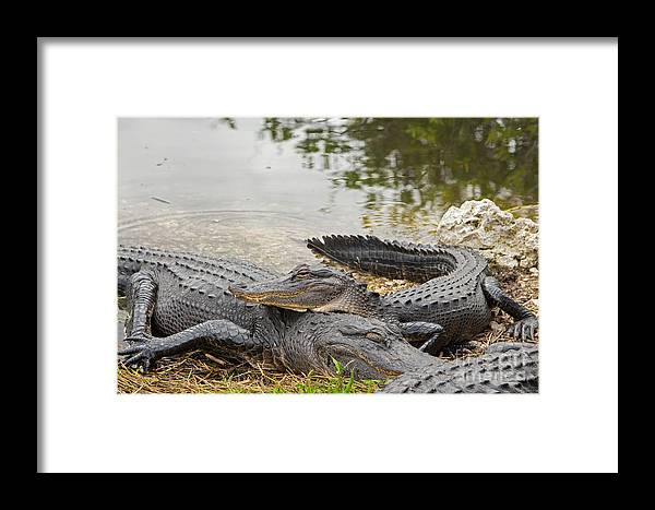 Alligators Framed Print featuring the photograph American Alligators by Natural Focal Point Photography