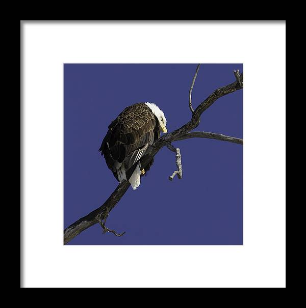 American Adult Bald Eagle Framed Print featuring the photograph American Bald Eagle 1 by Thomas Young