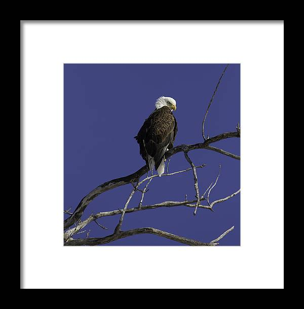 American Adult Bald Eagle Framed Print featuring the photograph American Bald Eagle 2 by Thomas Young