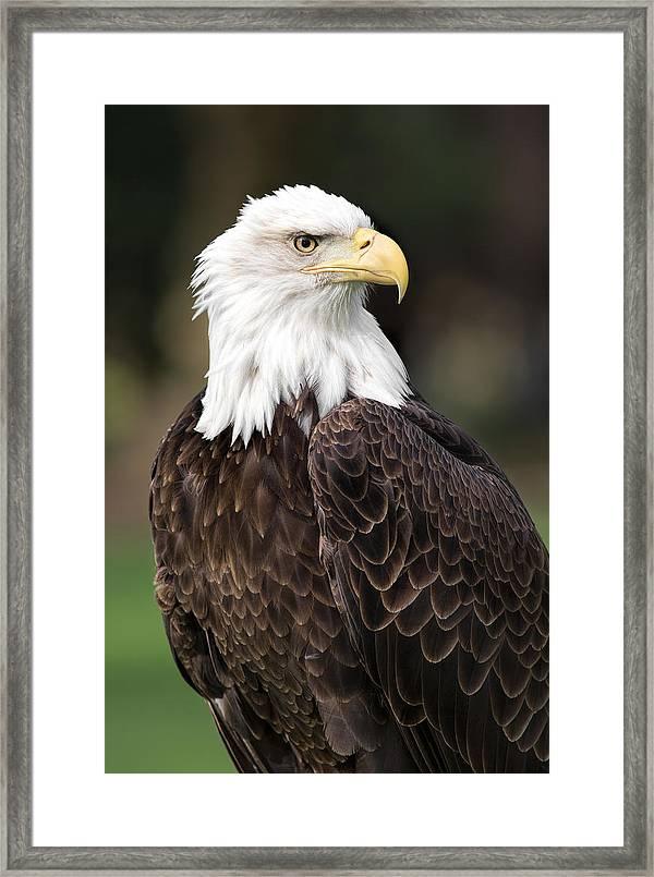 American Bald Eagle Framed Print By Dale Kincaid