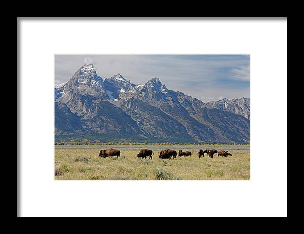 Flpa Framed Print featuring the photograph American Bison Herd by Martin Withers