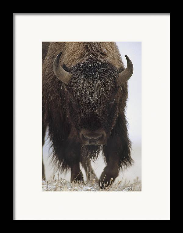 00172336 Framed Print featuring the photograph American Bison Portrait by Tim Fitzharris