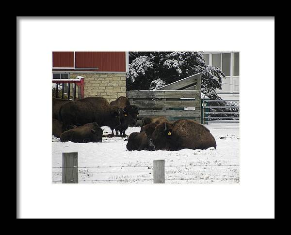 Buffalo Framed Print featuring the photograph American Bison by Teresa Schomig