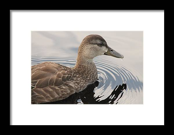 Duck Framed Print featuring the photograph American Black Duck by Liam Brennan