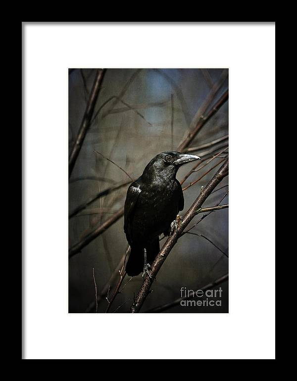 Crow Framed Print featuring the photograph American Crow by Lois Bryan