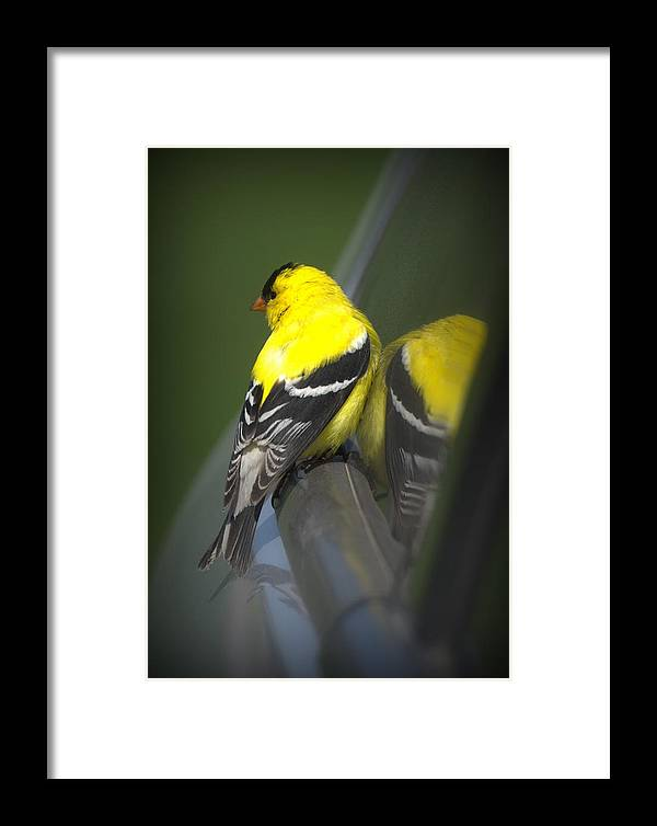 Bird Framed Print featuring the photograph American Goldfinch by Rob Andrus