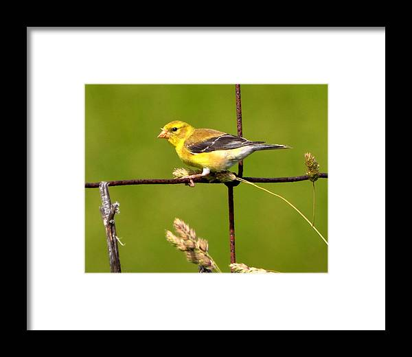 Goldfinch Framed Print featuring the photograph American Goldfinch by William Fox