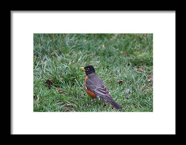 Bird Framed Print featuring the photograph American Robin by Vadim Levin