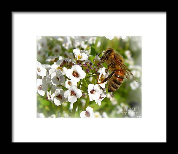 Bee Framed Print featuring the photograph An Alyssum Meal by Heidi Manly
