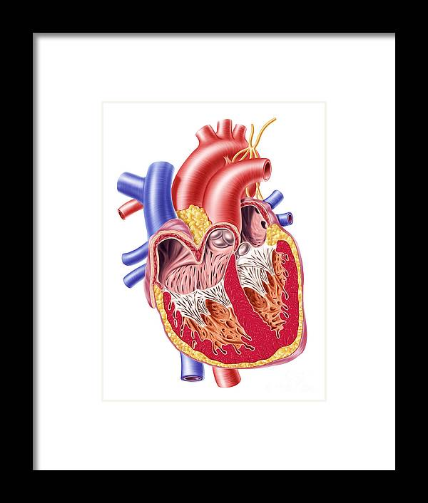 Anatomy Of Human Heart Cross Section Framed Print By Leonello Calvetti
