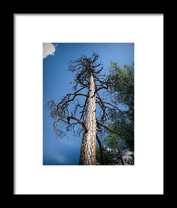 Goldwater Lake Framed Print featuring the photograph Ancient Ponderosa by Aaron Burrows