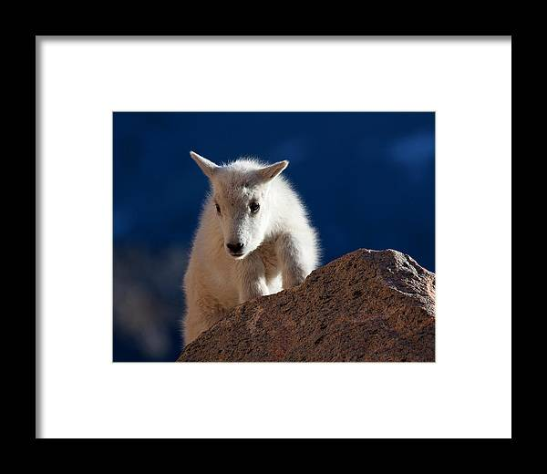 Mountain Goats; Posing; Group Photo; Baby Goat; Nature; Colorado; Crowd; Baby Goat; Mountain Goat Baby; Happy; Joy; Nature; Brothers Framed Print featuring the photograph And So It Begins by Jim Garrison