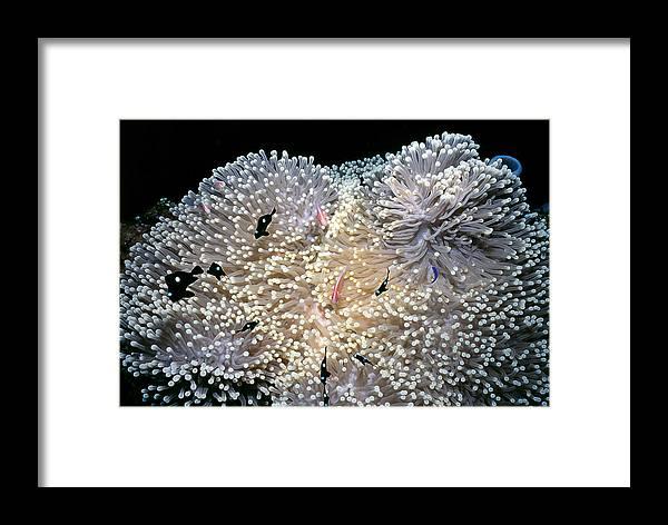 Micronesia Framed Print featuring the photograph Anenomes 4 by Dawn Eshelman