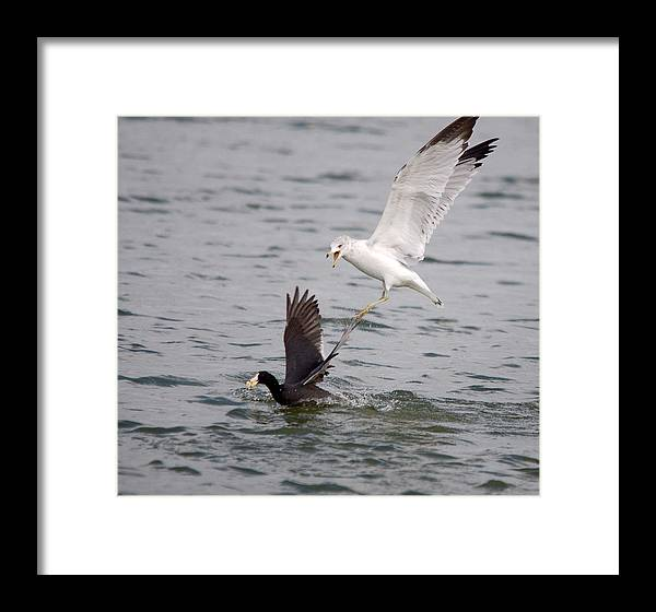 Roy Williams Framed Print featuring the photograph Angry Gull 2 by Roy Williams