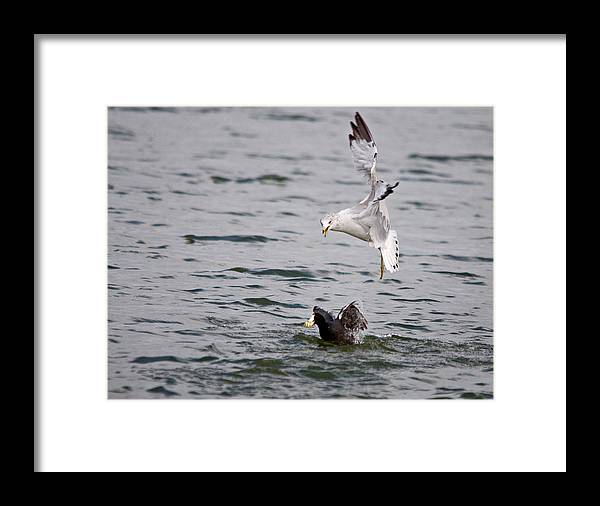Roy Williams Framed Print featuring the photograph Angry Gull by Roy Williams