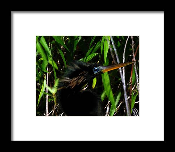 An Anhinga Taken In The Florida Everglades. Framed Print featuring the photograph Anhinga by Dennis Sotolongo