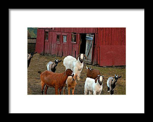 Barn Framed Print featuring the photograph Animal House by Diana Angstadt