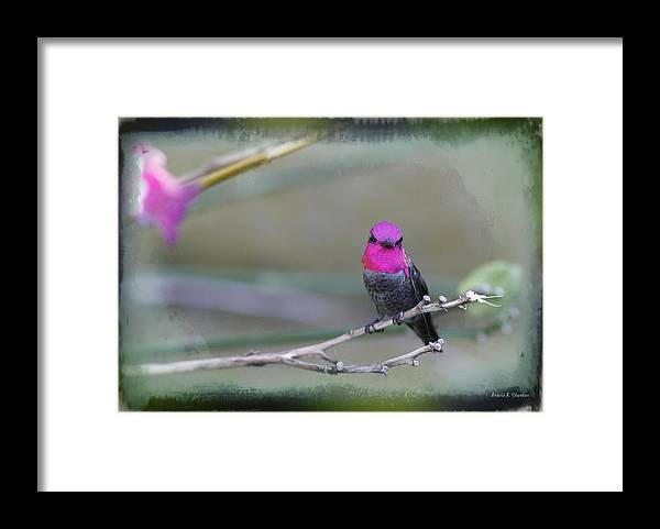 Hummingbird Framed Print featuring the photograph Anna's Hummingbird - Male by Angela Stanton