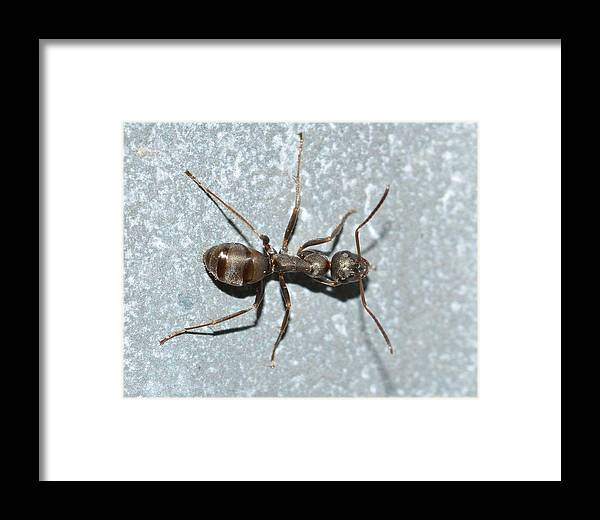 Ant Framed Print featuring the photograph Ant by FL collection