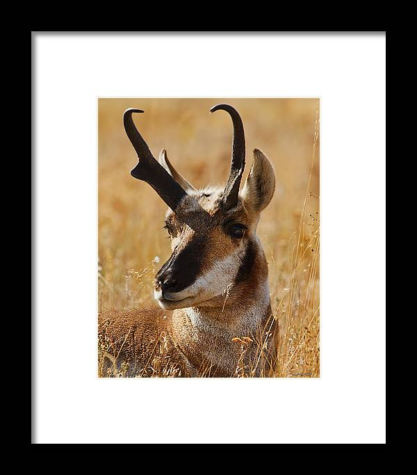 Framed Print featuring the photograph Antelope by Jim Lucas