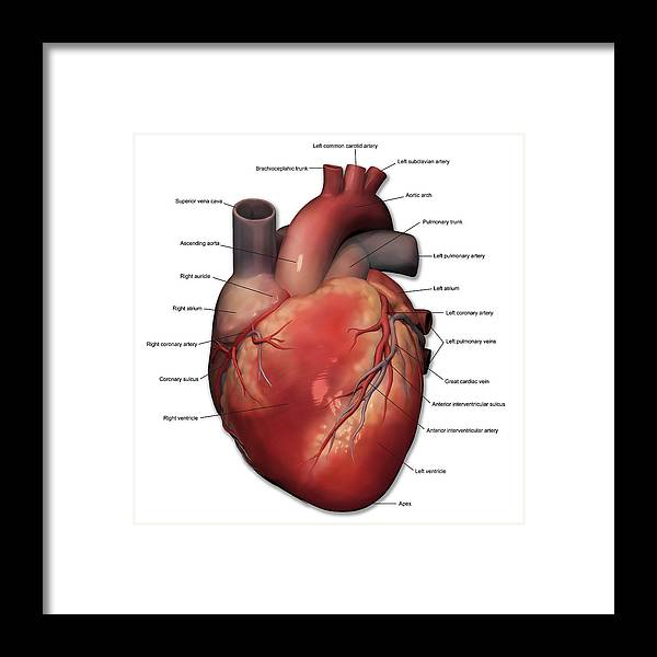 Anterior View Of Human Heart Anatomy Framed Print By Alayna Guza