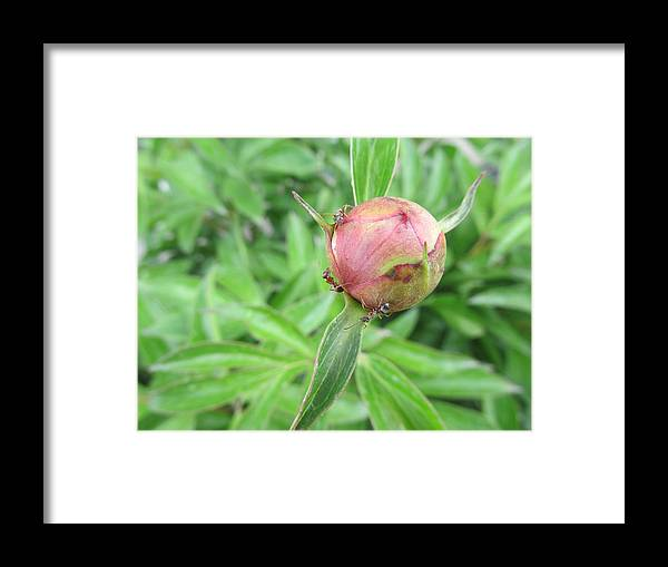Peonies Framed Print featuring the photograph Ants On A Peonies by Jesse Woodward