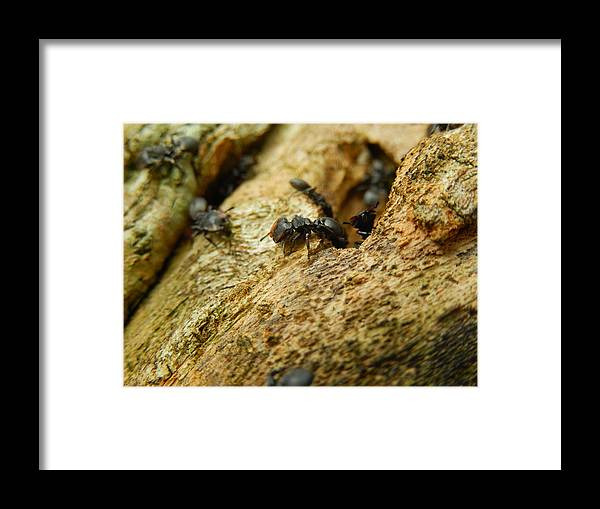 Ants Framed Print featuring the photograph Ants On Wood by Rosvin Des Bouillons