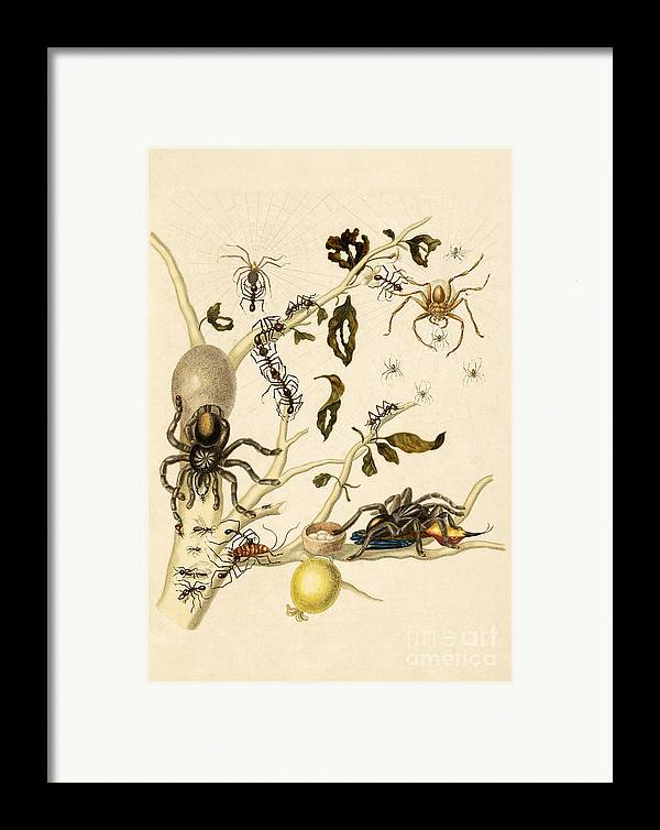 Branch Framed Print featuring the photograph Ants Spiders Tarantula And Hummingbird by Getty Research Institute
