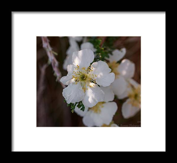 Fallugia Framed Print featuring the photograph Apache Plume Flowers In Spring by Aaron Burrows