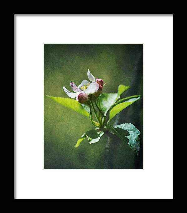 Flower Framed Print featuring the photograph Apple Blossom by Ginger Wagner