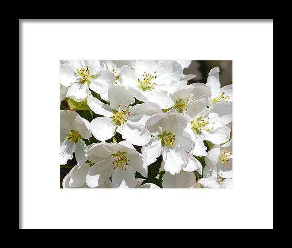 Apple Framed Print featuring the photograph Apple Blossoms In Spring by Christine Stack