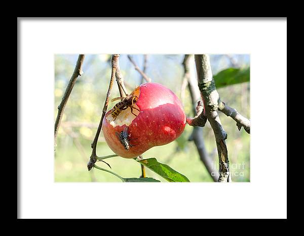 Apple Framed Print featuring the photograph Apple by Mats Silvan