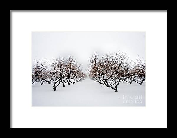 Apple Orchard Framed Print featuring the photograph Apple Orchard by Ken Marsh