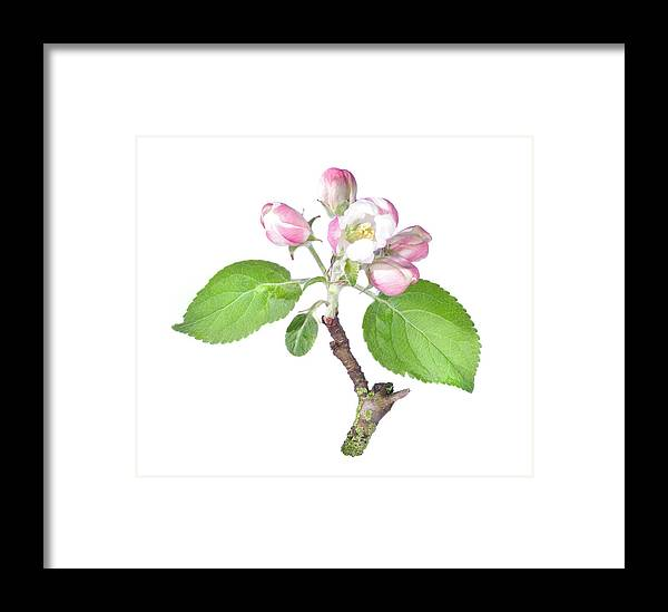 Apple Framed Print featuring the photograph Apple Tree Flower by Ioan Panaite