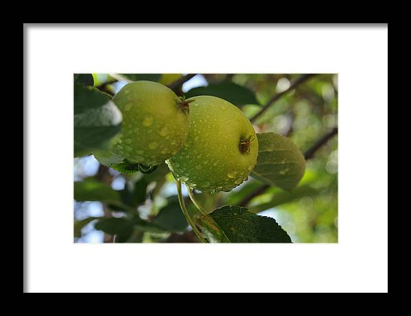 Fine Art Framed Print featuring the photograph Apples by Leon Hollins III