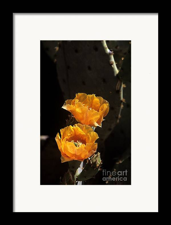 Cactus Framed Print featuring the photograph Apricot Blossoms by Kathy McClure